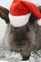 It's a Gray Bunny for Christmas