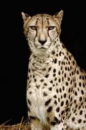Beautiful Cheetah Journal