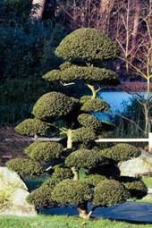 Bonsai Tree in a Japanese Garden Journal