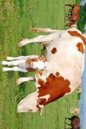 Mamma Cow and Her Calf at Pasture