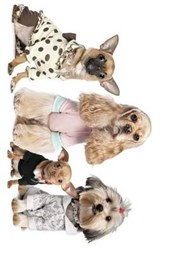 Chihuahua, Shih Tzu, and Cocker Spaniel Dressed Up