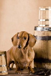 Dachsund Guarding the Beer, for the Love of Dogs