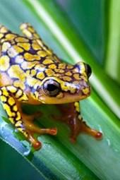 Harlequin Poison Dart Frog or Dendrobates Histrionicus