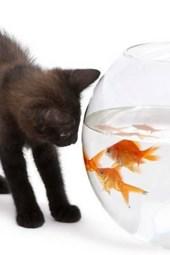 A Black Kitten Investigating a Goldfish