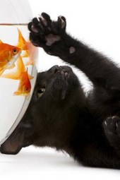 A Black Kitten Trying to Play with Goldfish
