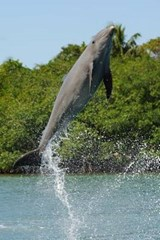 Bottlenose Dolphin Jumping Journal | Cool Image |