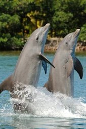 Bottlenose Dolphins Performing Journal