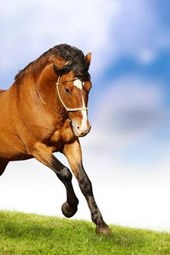 A Beautiful Brown Stallion Galloping, for the Love of Horses