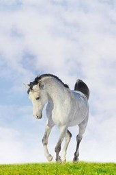 A Beautiful White Arab Horse