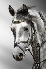 Beautiful Profile of a Dapple Grey Horse Arab | Unique Journal |
