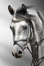 Beautiful Profile of a Dapple Grey Horse Arab