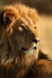 A Beautiful Male Lion in Kenya