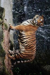 A Large Tiger Standing by a Waterfall | Unique Journal |