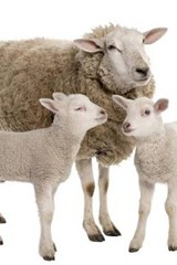 A Mother Ewe and Her Two Lambs, for the Love of Sheep | Unique Journal |