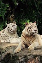 A Pair of Beautiful White Tigers Relaxing on a Rock
