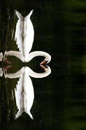 A Pair of Mated Swans Making a Heart