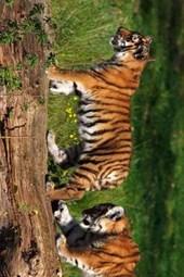 A Pair of Siberian Tiger Cubs Playing