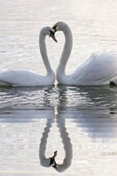 A Pair of Swans and Their Reflection Making a Hear