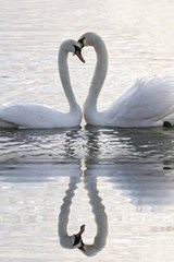 A Pair of Swans and Their Reflection Making a Hear | Unique Journal |