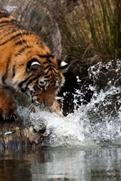 A Siberian Tiger Splashing in the Water