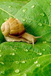 A Snail Crawling Across a Leaf with Morning Dew Drops