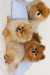 A Trio of Pomeranian Spitz Puppies