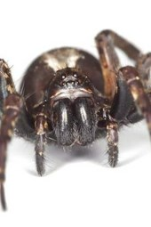 A Wolf Spider Not Backing Down