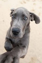 Great Dane Puppy Wants Your Attention Dog Journal