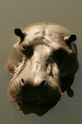 Hippo Rising Aka Hippopotamus Surfacing Journal