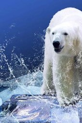 Confronted by the Polar Bear