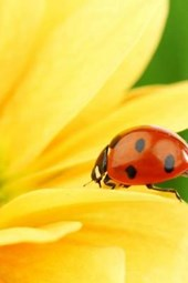 Ladybug on a Brilliant Yellow Flower