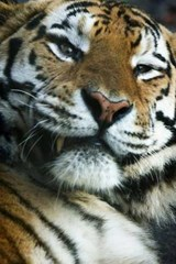 Tiger Close-Up Journal | Cool Image |
