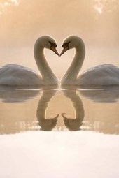 Love Is in the Air, Two Beautiful Swans