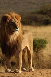 Male Lion Seen on Safari on the African Veldt