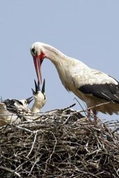 Mama Stork Feeding the Babies in the Nest