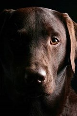 A Beautiful Chocolate Lab Posing for the Camera | Unique Journal |