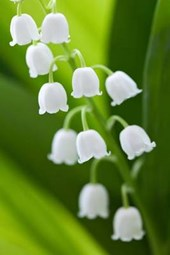 A Brilliant White Blooming Lily of the Valley Flower