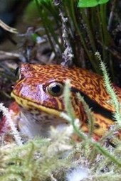 A Tomato Frog Hiding in the Rain Forest