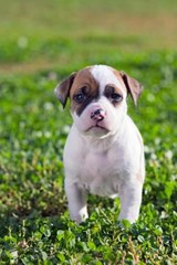 American Staffordshire Terrier Puppy Dog in the Grass Journal | Cool Image |