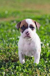 American Staffordshire Terrier Puppy Dog in the Grass Journal