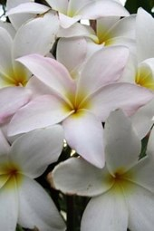 Close Up of a White Plumeria Blooming in South Texas