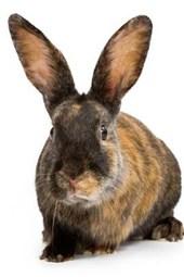 Harlequin Rabbit Journal