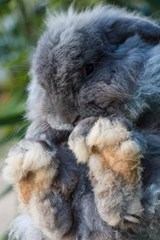 Holland Lop Rabbit with Big Feet Journal | Cool Image |