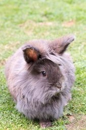 Lionhead Rabbit Journal