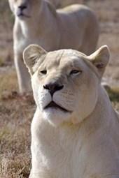 White Lioness Journal