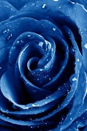 A Spectacular Blue Rose