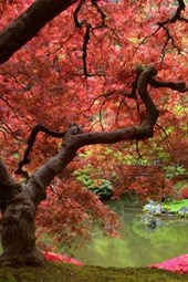 An Enormous Japanese Maple Tree with Brilliant Pink Leaves