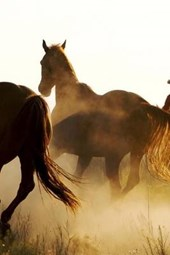 Rounding Up the Wild Horses in Montana