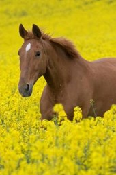 Running Horse in the Field of Flowers