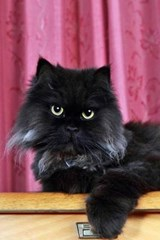 The Black Persian Cat Journal | Cool Image |